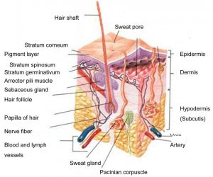 A-schematic-cross-section-of-human-skin-9.png